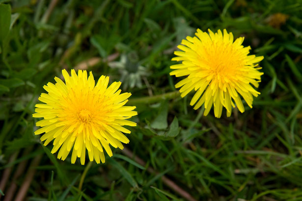 This image has an empty alt attribute; its file name is dandelions.jpg